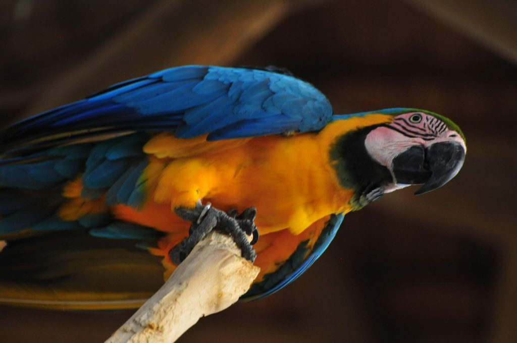 Blue and yellow macaw on the island of Baru in Colombia